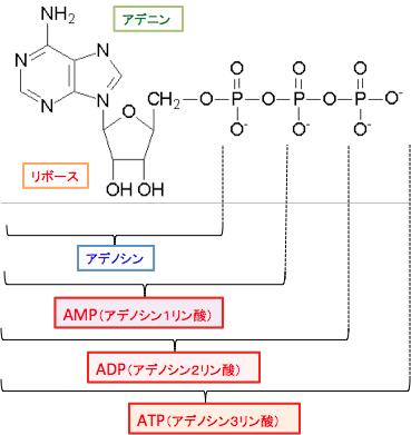 エネルギー産生と物質代謝の基礎